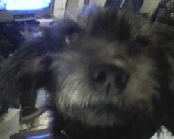 Didou, chien Griffon fauve de Bretagne