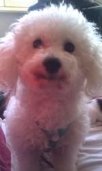 Didou, chien Bichon à poil frisé