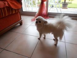 Didou, chien Chihuahua