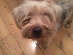 Diego, chien Yorkshire Terrier