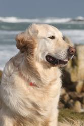 Diégo, chien Golden Retriever