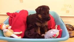 Diego, chien Berger allemand