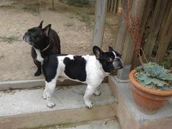 Diego, chien Bouledogue français
