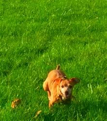 Diego, chien Pinscher