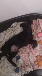 Diego, chien Labrador Retriever