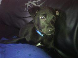 Diego, chien Berger blanc suisse