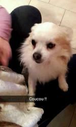 Diego, chien Chihuahua
