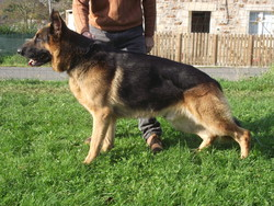 Diégo, chien Berger allemand