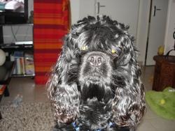 Diego, chien Cocker américain