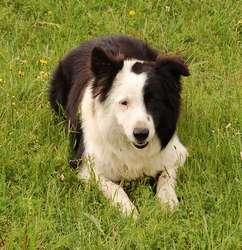 Diego, chien Border Collie