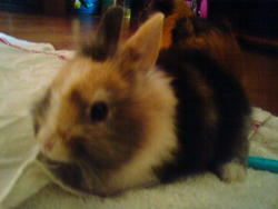 Diego, rongeur Lapin
