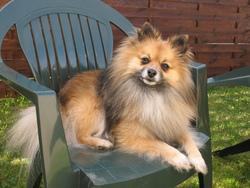 Diego, chien Spitz allemand
