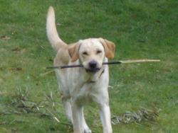Diego Au Paradis, chien Labrador Retriever