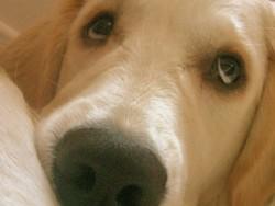 Diego, chien Golden Retriever