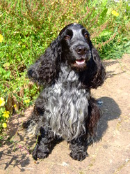 Diego Du Domaine Bagheera, chien Cocker anglais