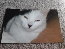 Diesel, chat Siamois
