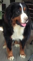 Diesel, chien Bouvier bernois