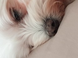 Dieze, chien Golden Retriever