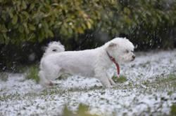 Diffenbacker, chien Coton de Tuléar