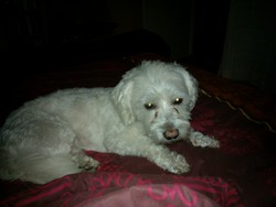 Diggy, chien Bichon maltais