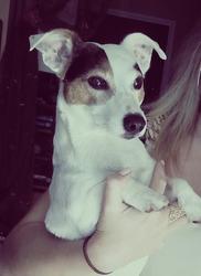 Dikcy, chien Jack Russell Terrier
