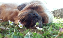 Dikxy, chien Shih Tzu