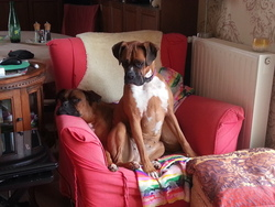 Dilice, chien Boxer