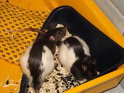 Dilo, rongeur Rat