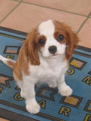 Dilu, chien Cavalier King Charles Spaniel