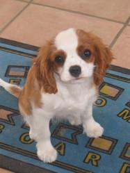 Dilu, chien Cavalier King Charles Spaniel