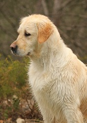 Dim'Up, chien Golden Retriever