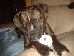 Dimple, chien Boxer