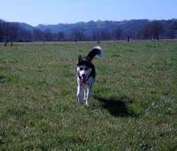 Dina, chien Husky sibérien
