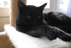 Dina, chat Européen