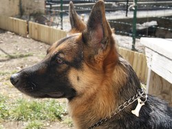 Dina, chien Berger allemand