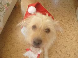Dina, chien Labrador Retriever