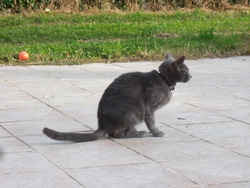 Dina, chat Bleu russe