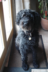 Dina, chien Bouvier des Flandres