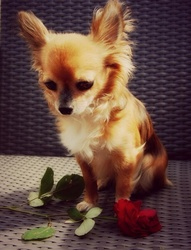 Dina, chien Chihuahua