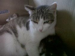 Dina, chat Gouttière