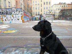 Dingo, chien Beauceron