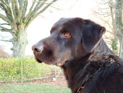 Dingo, chien Labrador Retriever