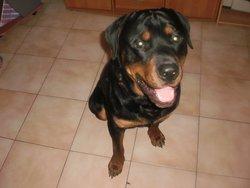 Dino, chien Rottweiler