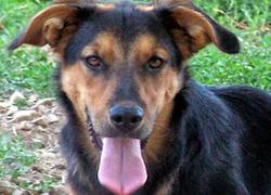 Dino, chien Berger allemand
