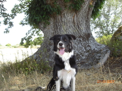 Dino, chien Border Collie