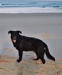 Dinozzo, chien Golden Retriever