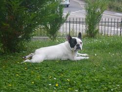 Dior, chien Bouledogue français