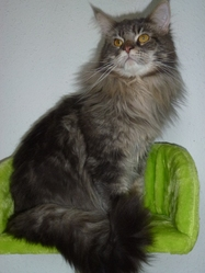 Dior, chat Maine Coon
