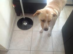 Dior , chien Labrador Retriever
