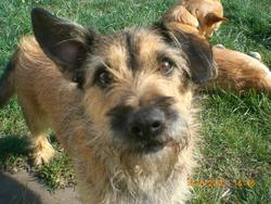 Dior, chien Border Terrier